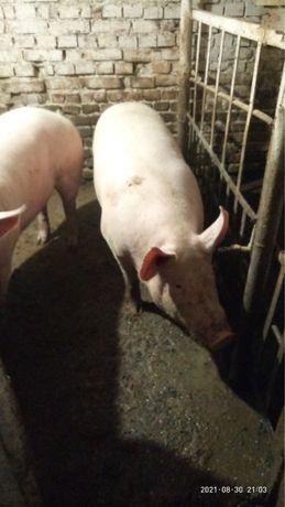 Продається свинина  мясної породи