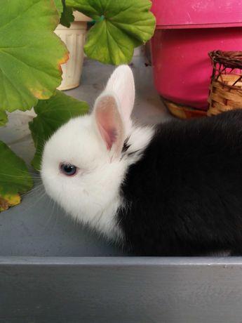 Кролик декоративный с торчащими ушками