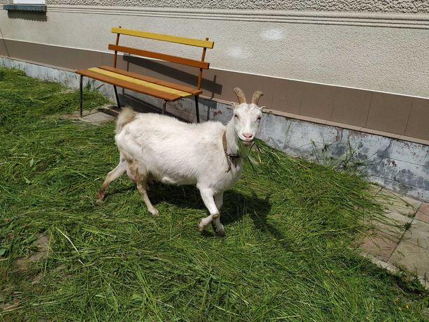 Продається коза, молочна