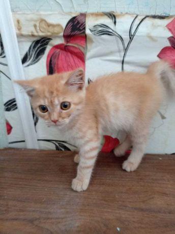 Отдам рыжего котенка девочку