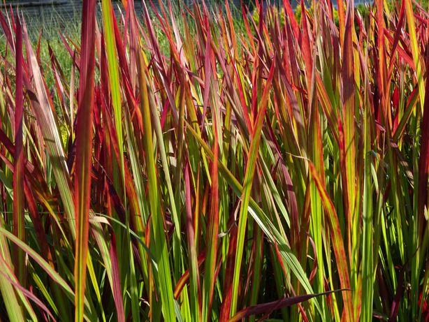 Trawa ozdobna imperata cylindryczna Red baron czerwona trawa