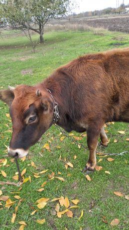 Джерсейська телка, телиця, корова