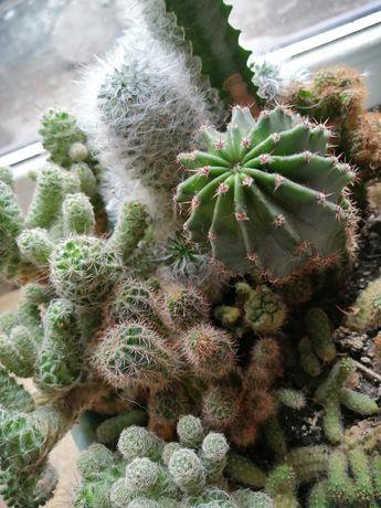 Вазон с кактусами