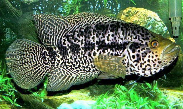 Jaguar Parachromis managuensis