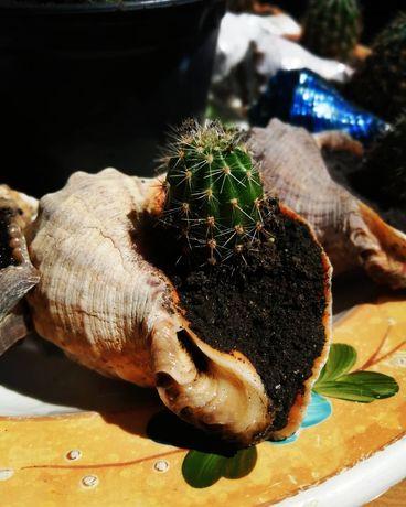 Продам кактусы Эхинопсис в морском рапане