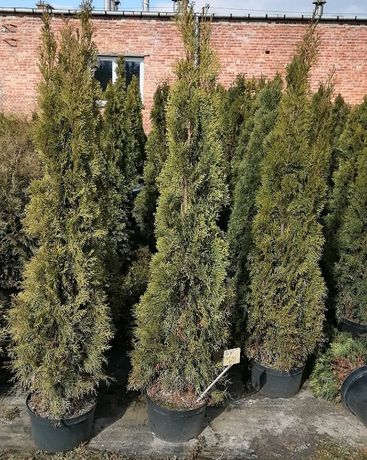 Thuja occidentalis SMARAGD , thuje, tuja Szmaragd 150-170 cm