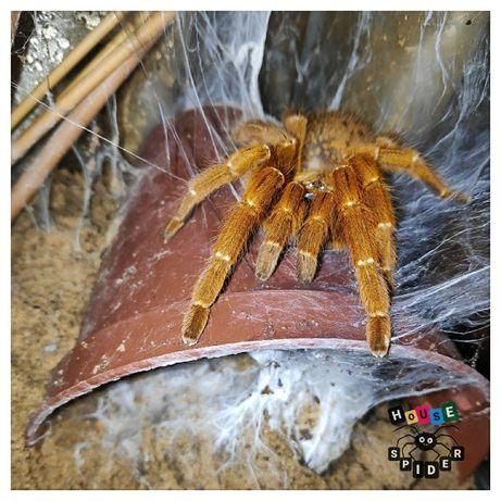 Самка паука птицееда бешеного апельсина отправлю по Украине