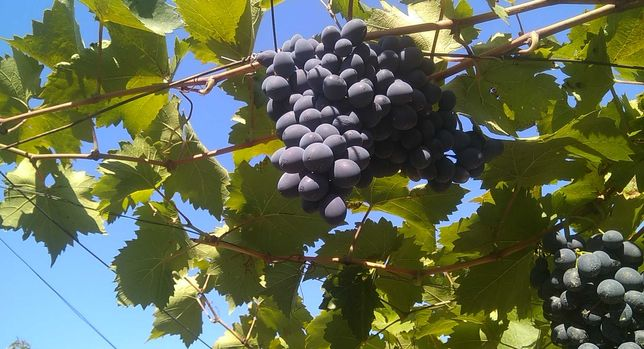 Виноград Молдова продам