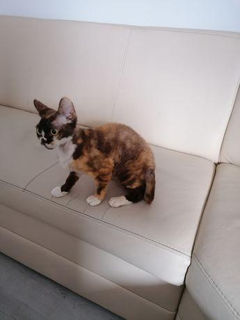 Sprzedam Kotkę Devon Rex