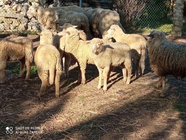 Ovelhas borregos carneiro