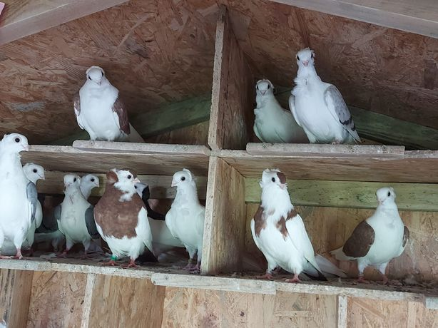 Gołębie ozdobne mewki