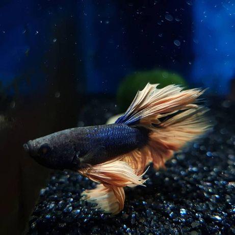 Bojownik halfmoon, rybki