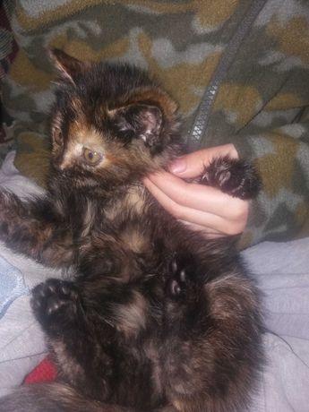 Отдам котенка ЧЕРЕПАХОВОГО окраса в любящие руки.
