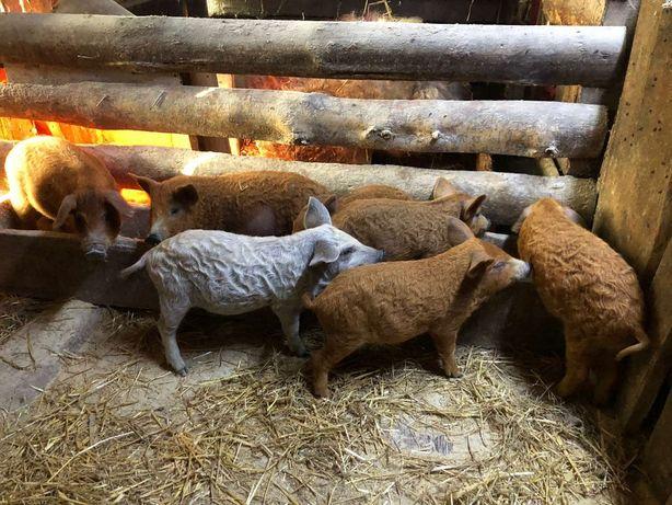 Свинки на племя Венгерская Мангалица
