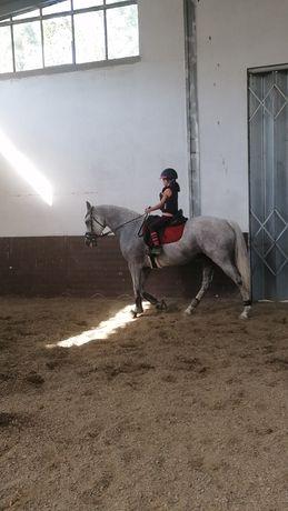 Égua Anglo árabe