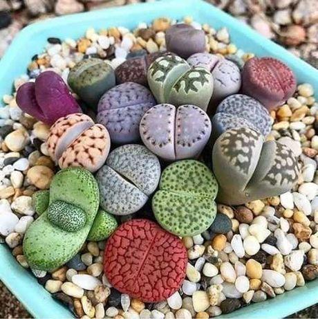 Sementes de Planta Pedra Suculenta