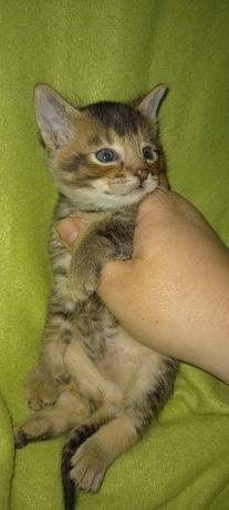 Продам котенка породы Абиссинская кошка.