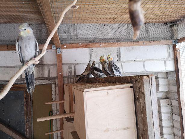 Papugi nimfy pary