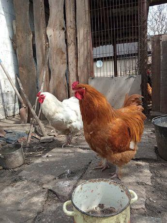 Инкубационный яйца кур брама