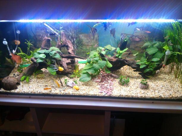 Rybki akwariowe skalary