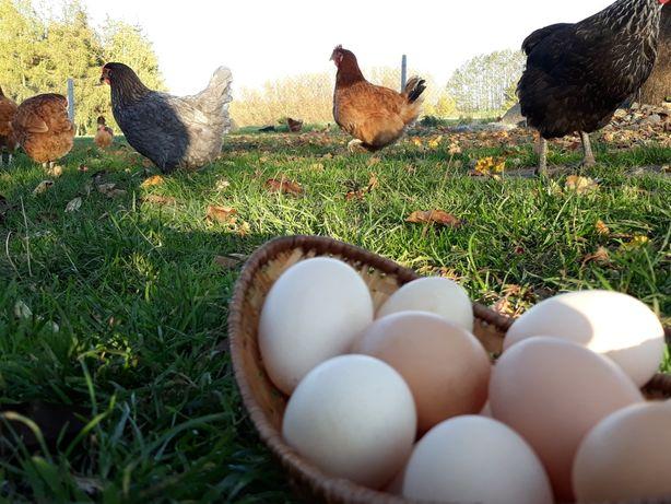 Jaja, jajka wiejskie, ŚWIEŻUTKIE, darmowa dostawa do domu