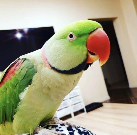 Говоряший Александрийский попугай