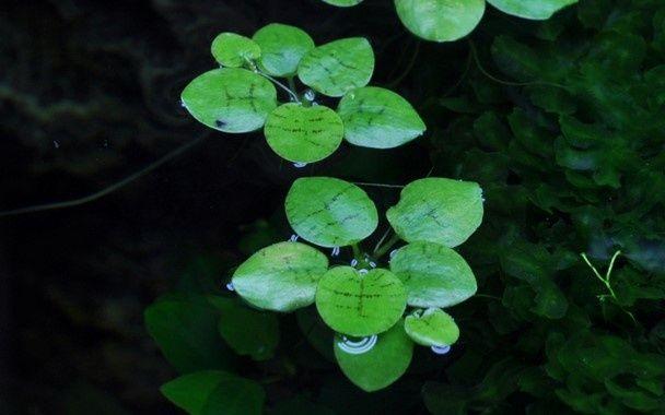 Limnobium Laevigatum - Planta Flutuante