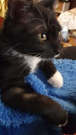Котенок Дымчик 3,5 мес