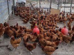 Kury młode kurki ROSA pełen kolor oraz inne rasy. Sprzedaż z Dowozem