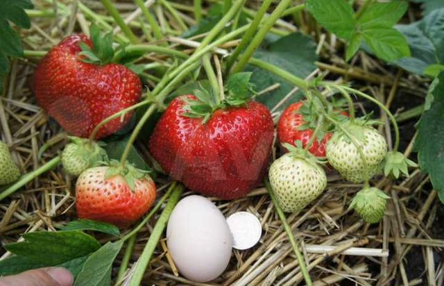 Саженцы клубники - ягода круглый год
