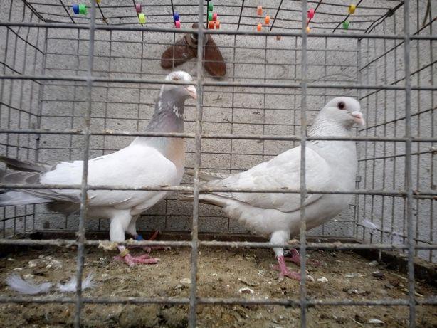 Gołębie pocztowe Barless Milky Wysyłka