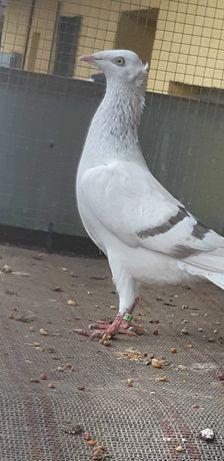 Gołąb  żałobnik perłowy