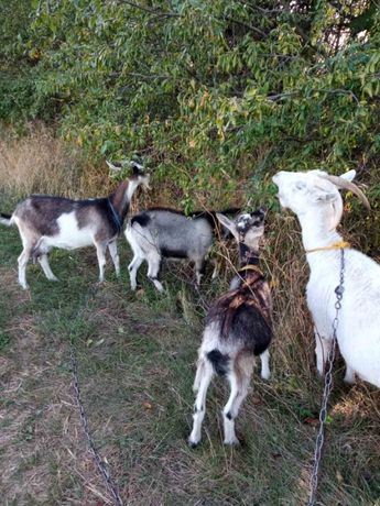 Кози породисті, молоді