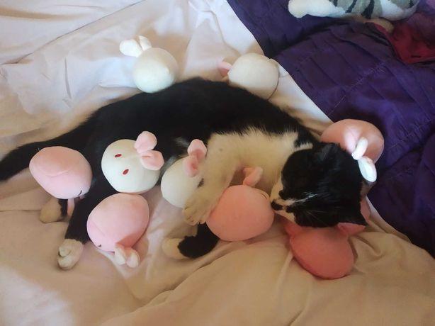 Zaginął młody  kotek 10 miesięcy