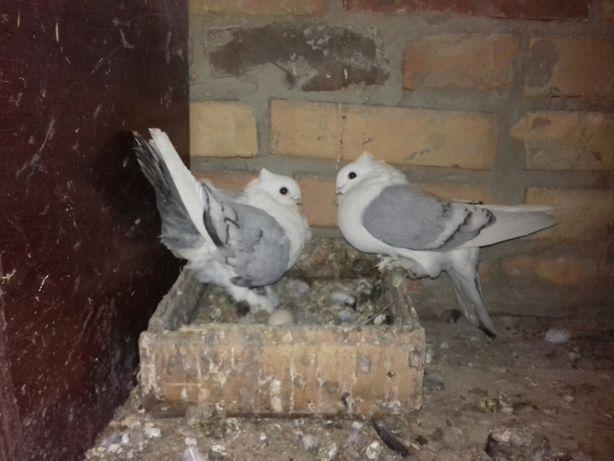 голуби декоративні