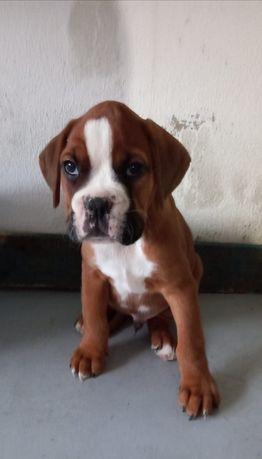 Cachorrinho Boxer Disponível