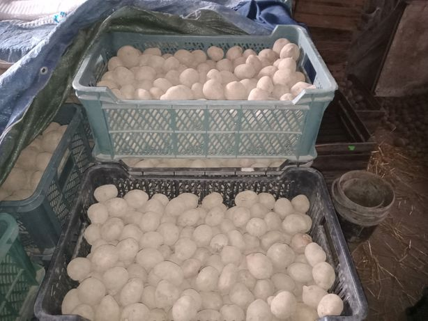 Ziemniaki sadzeniaki Irga Lord Rudolf białe żółte ręcznie sortowane