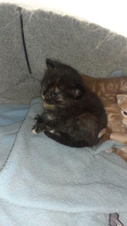 Gatinhos Adopção