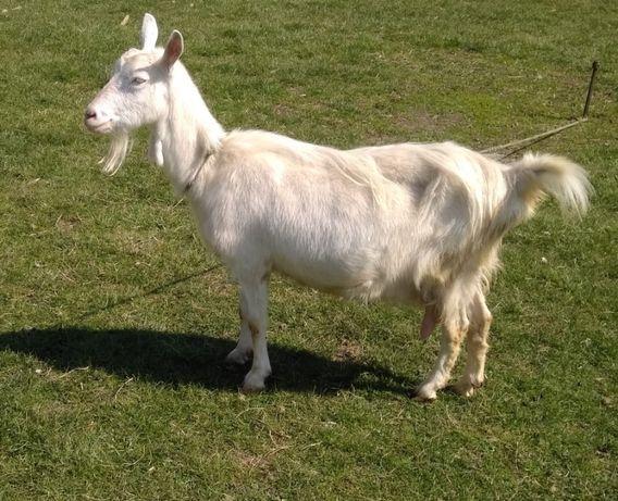 Продаєтться зааненська коза