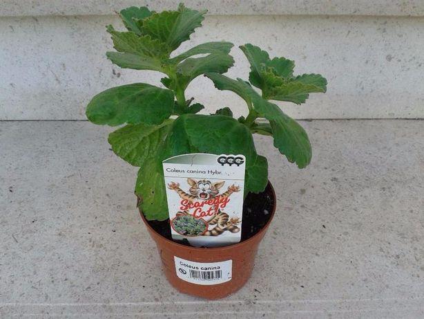 Planta Repelente - Coleus Canina,