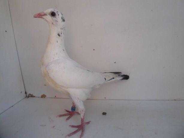 Gołębie pocztowe Gołąb Młodego 2021r Ludo Claessns z rodowodem