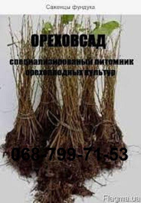 Саженцы(вегетативные отводки) и черенки фундука Лесопитомник - изображение 1