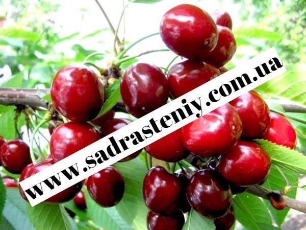 Саженцы крупноплодных сортов вишни, черешни и другие плодовые деревья