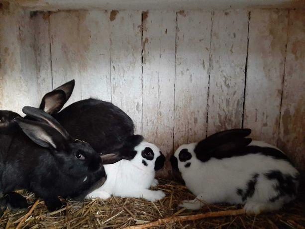 Srokacz Niemiecki króliki w różnym wieku