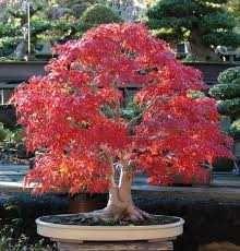 Acer rubrum 30 sementes