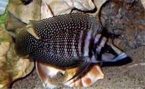 TanganikaAltolamprologus Calvus ,,Black'' Pectoral 3,5cm Toruń