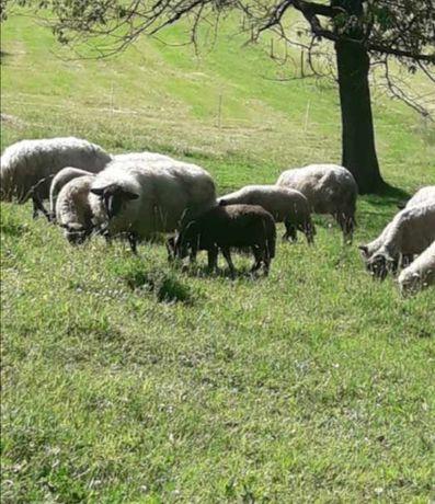 Sprzedam owce czarnoguwki