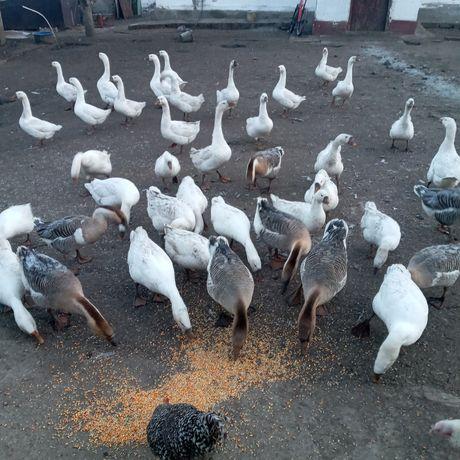 Продам гусей велики