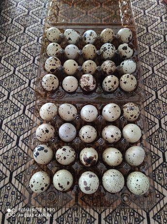 Перепелині яйця- домашні