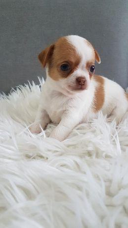 Chihuahua-sunia Boni